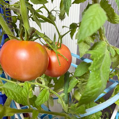 トマトと人財育成